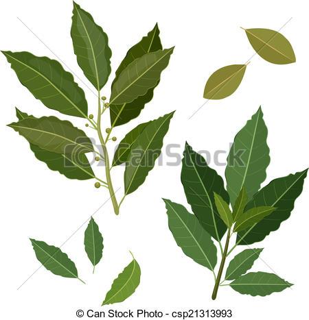 Bay leaf Illustrations and Clipart. 1,237 Bay leaf royalty free.