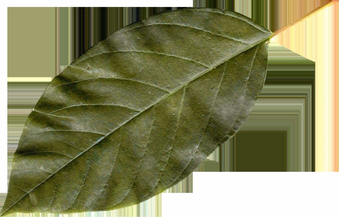 Bay leaf PNG Images.
