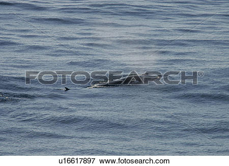 Picture of Fin whale (Balaenoptera physalus) with water vapour.