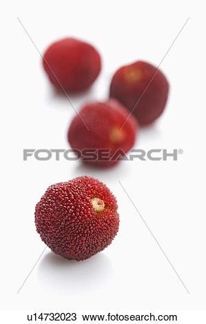 Stock Photo of Bayberry, u14732023.