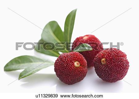 Bayberry Clip Art.