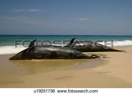 Stock Images of Offshore bottlenosed dolphin (Tursiops truncatus.