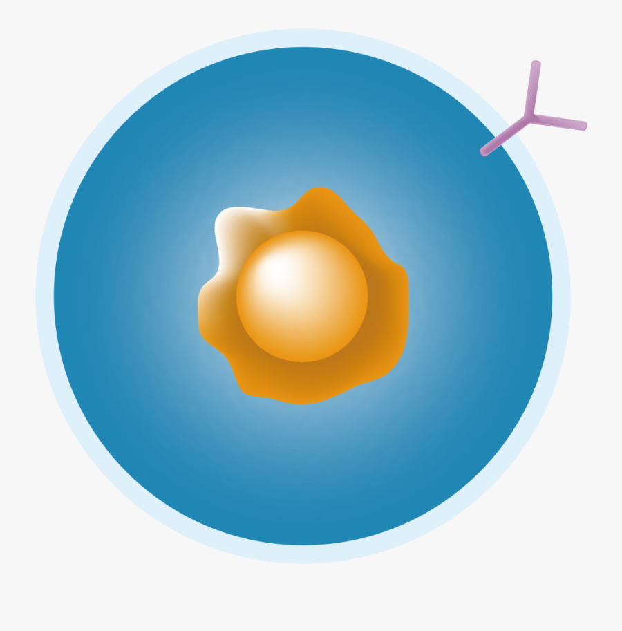 B Cell Png.