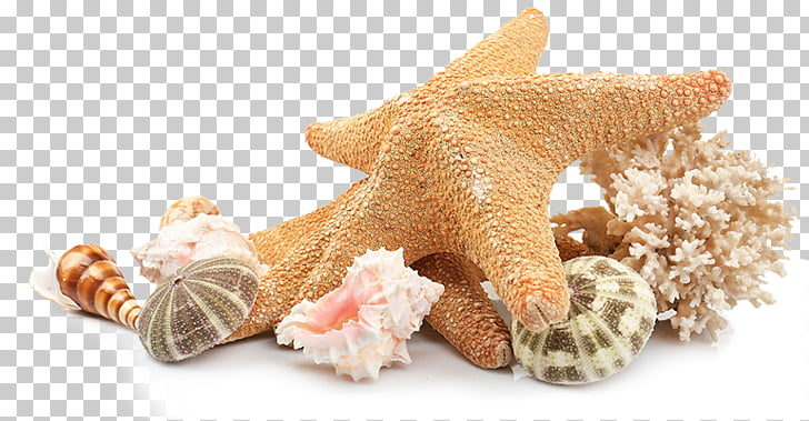 Seashell Beach , sea shells, brown starfish and shells PNG.