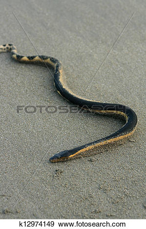 Stock Photograph of Sea Snake on a Beach k12974149.