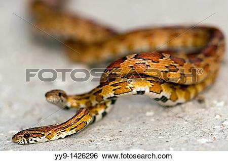 Stock Images of Cornsnakes Red Rat Snakes Mating.