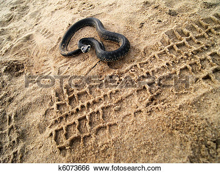 Stock Images of Snake on the beach k6073666.