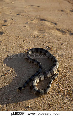 Stock Photo of Banded sea snake, Viti Levu; Fiji; beach pbl80094.
