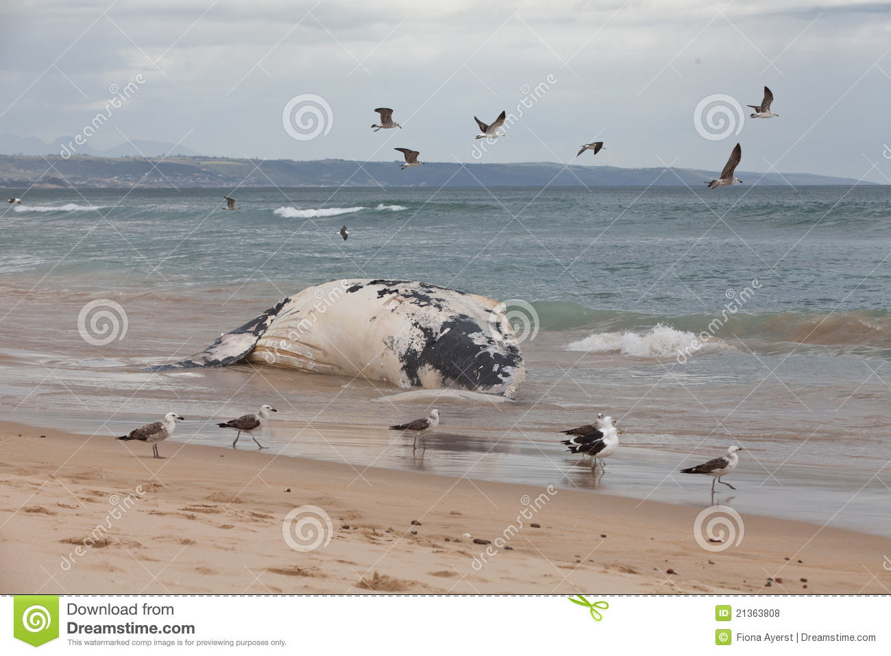 Beached Whale Stock Photos, Images, & Pictures.