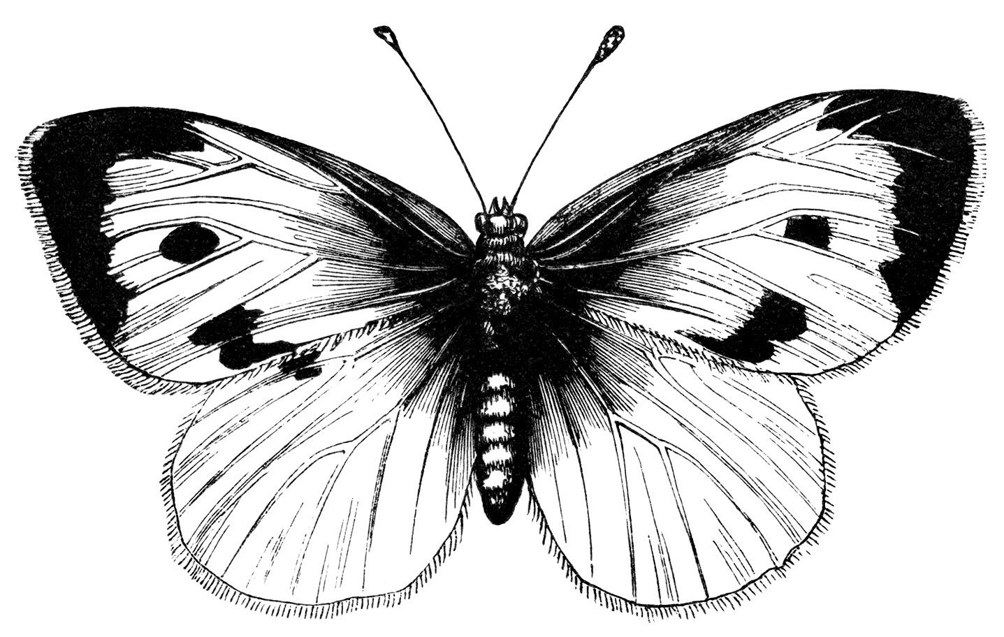 vintage butterfly clipart, black and white illustration.