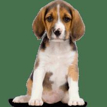 Beagle Dog Animal image with transparent background.