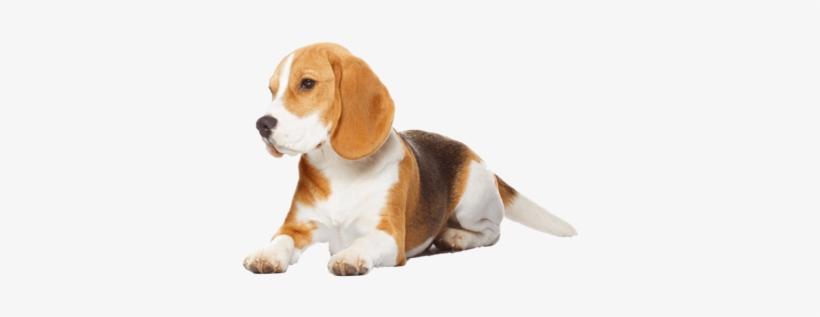 Beagle Transparent Image.