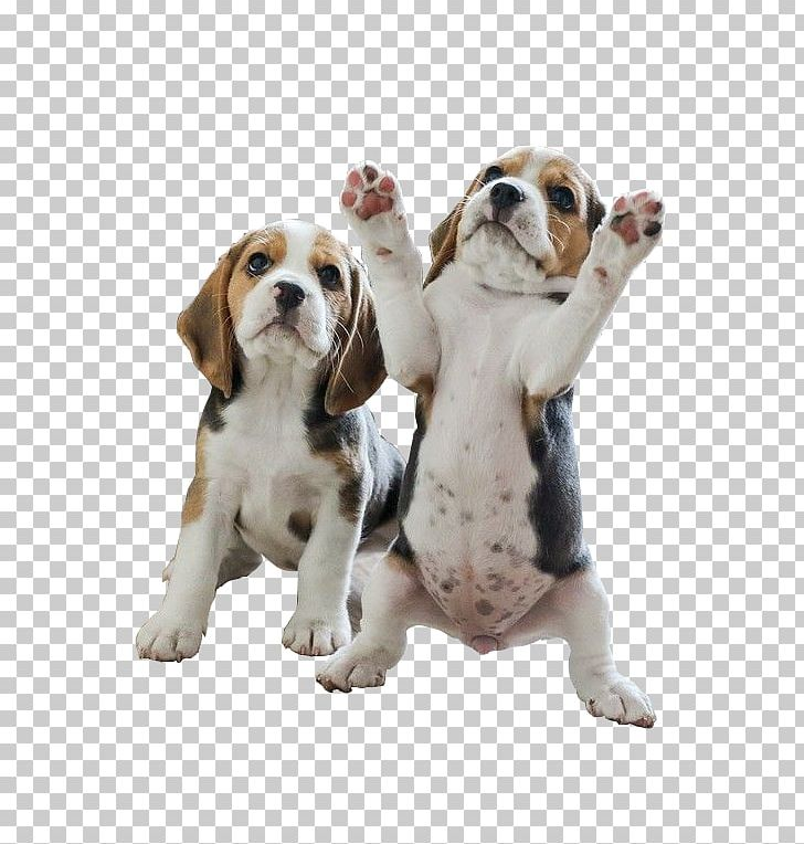 Pocket Beagle Puppy Your Beagle Beagles PNG, Clipart, Animal.