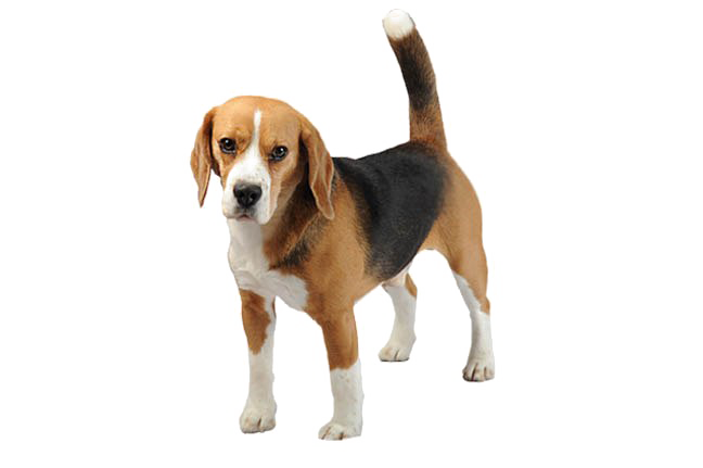 Beagle PNG Transparent Images, Pictures, Photos.