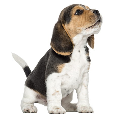 Download Free png Beagle puppy howling looking.