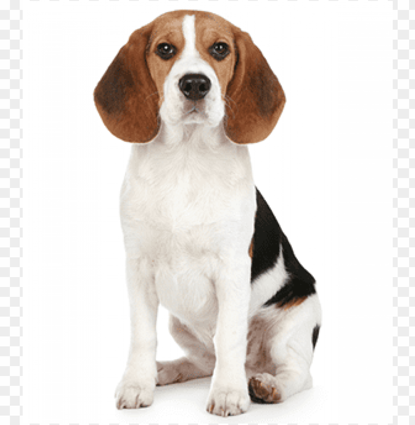beagle PNG image with transparent background.