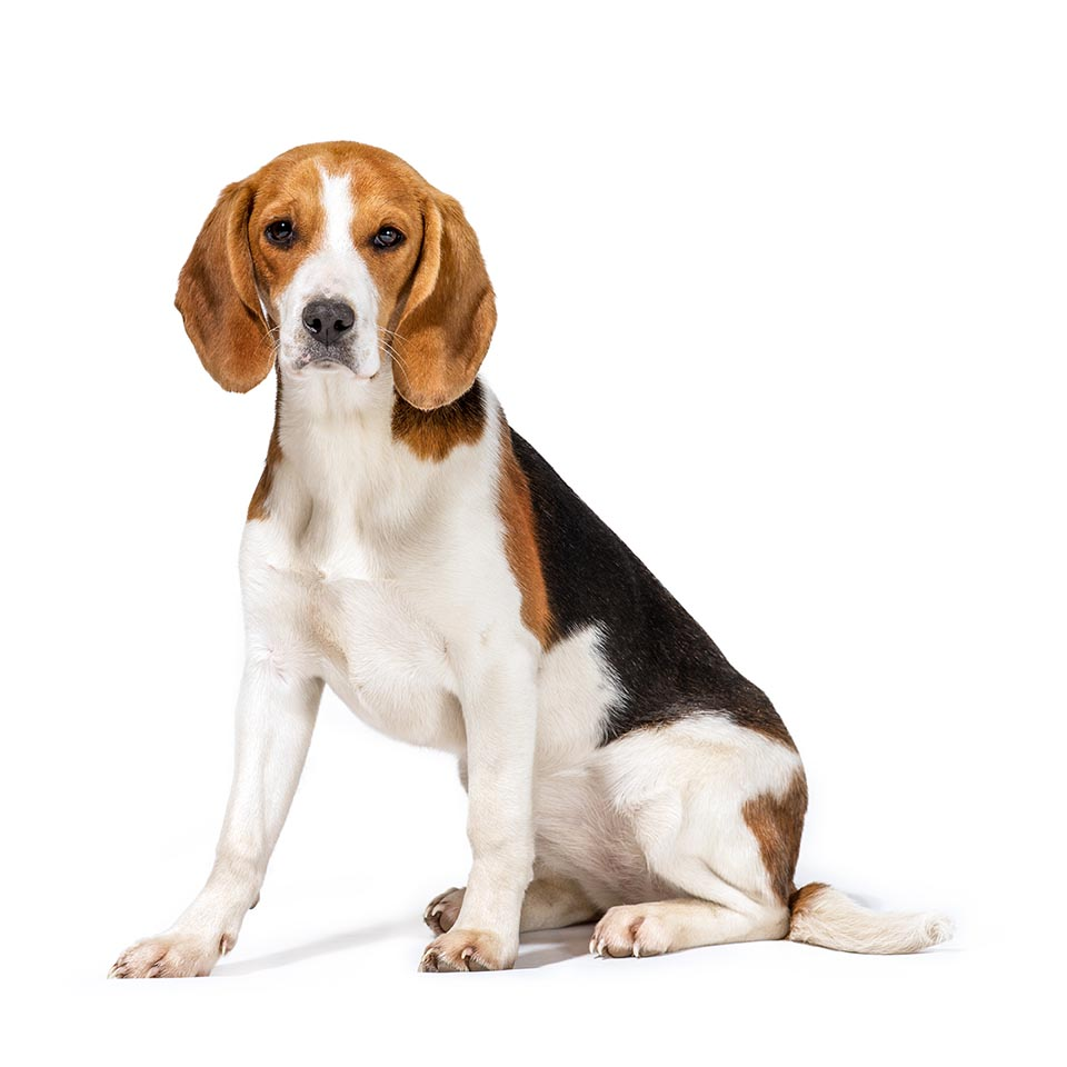 Beagle Breed Guide.