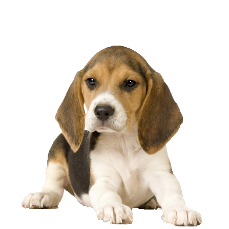 Beagle PNG Picture.