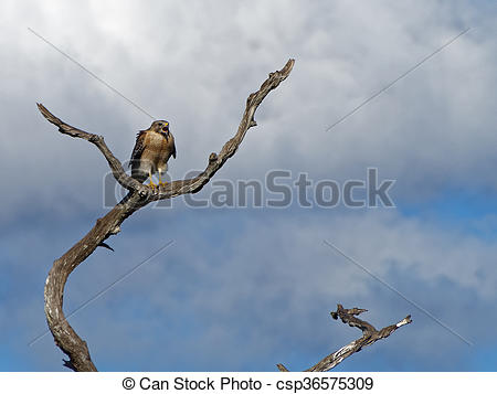 Stock Photography of Red Shouldered Hawk Calling Out Open Beak.