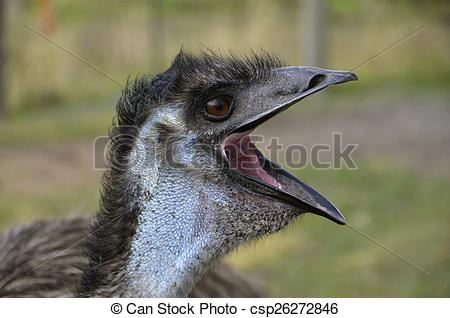 Stock Photo of Emu with open beak.