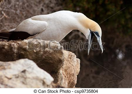 Stock Photo of Funny Australasian Gannet with beak wide open.