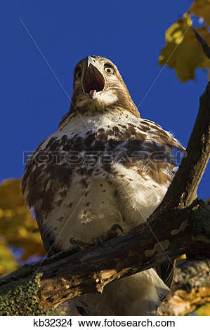 Stock Photo of Red Tailed Hawk In Tree Mouth Wide Open Sticking.