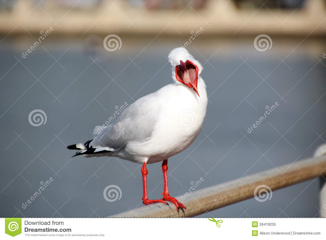 Seagull With Wide Open Beak Royalty Free Stock Photo.