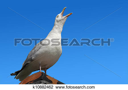 Stock Photo of Squawking seagull on rooftop beak wide open.