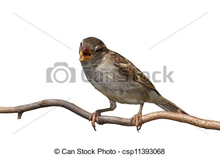 Stock Image of Chirping Sparrow.