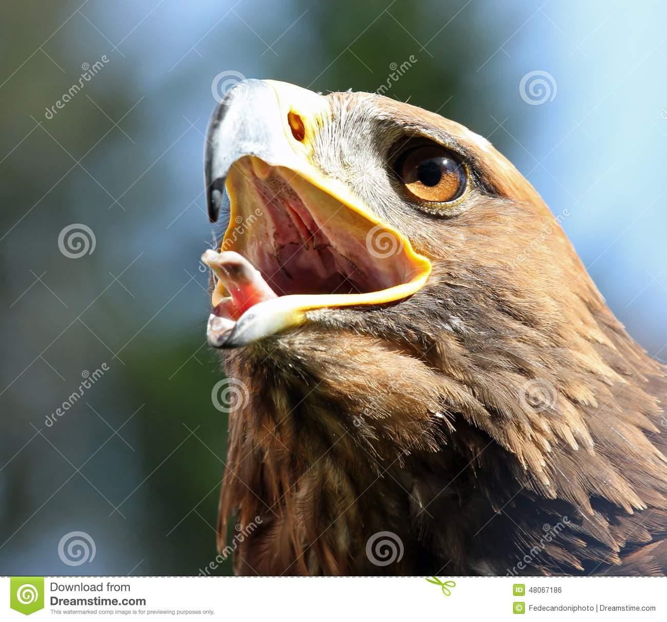 Eagle With Beak Wide Open Stock Photo.