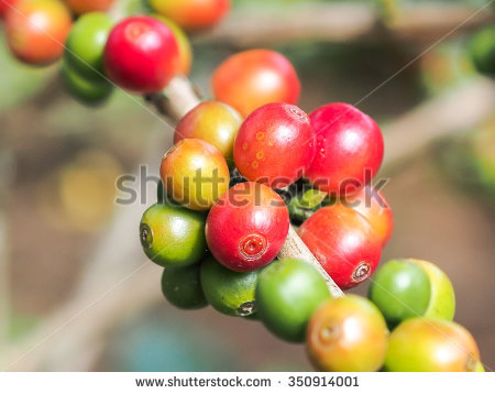 Coffee Beans Day Light Stock Photo 346139579.