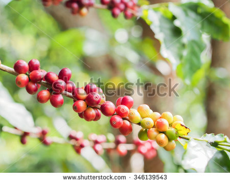 Coffee Beans Day Light Stock Photo 346139543.
