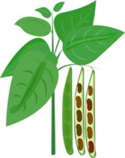 Beans clipart bean plant, Picture #88851 beans clipart bean.