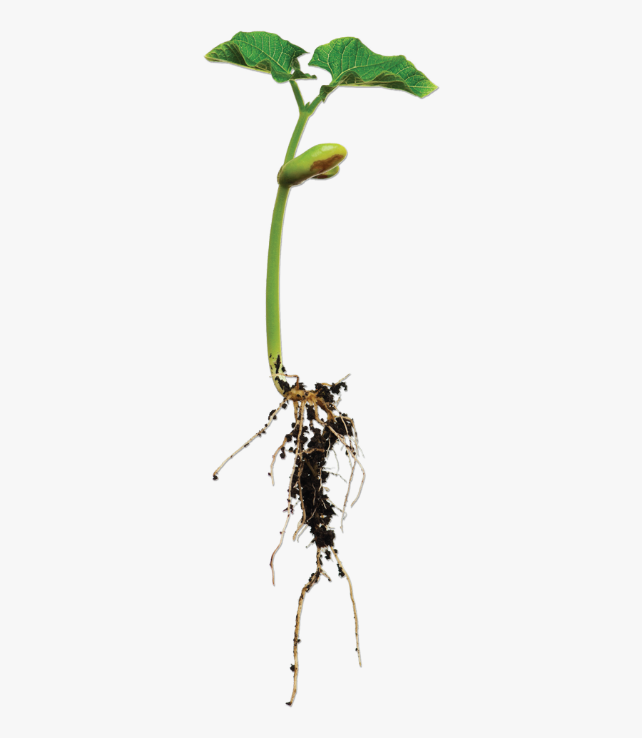 Bean Plant Png.