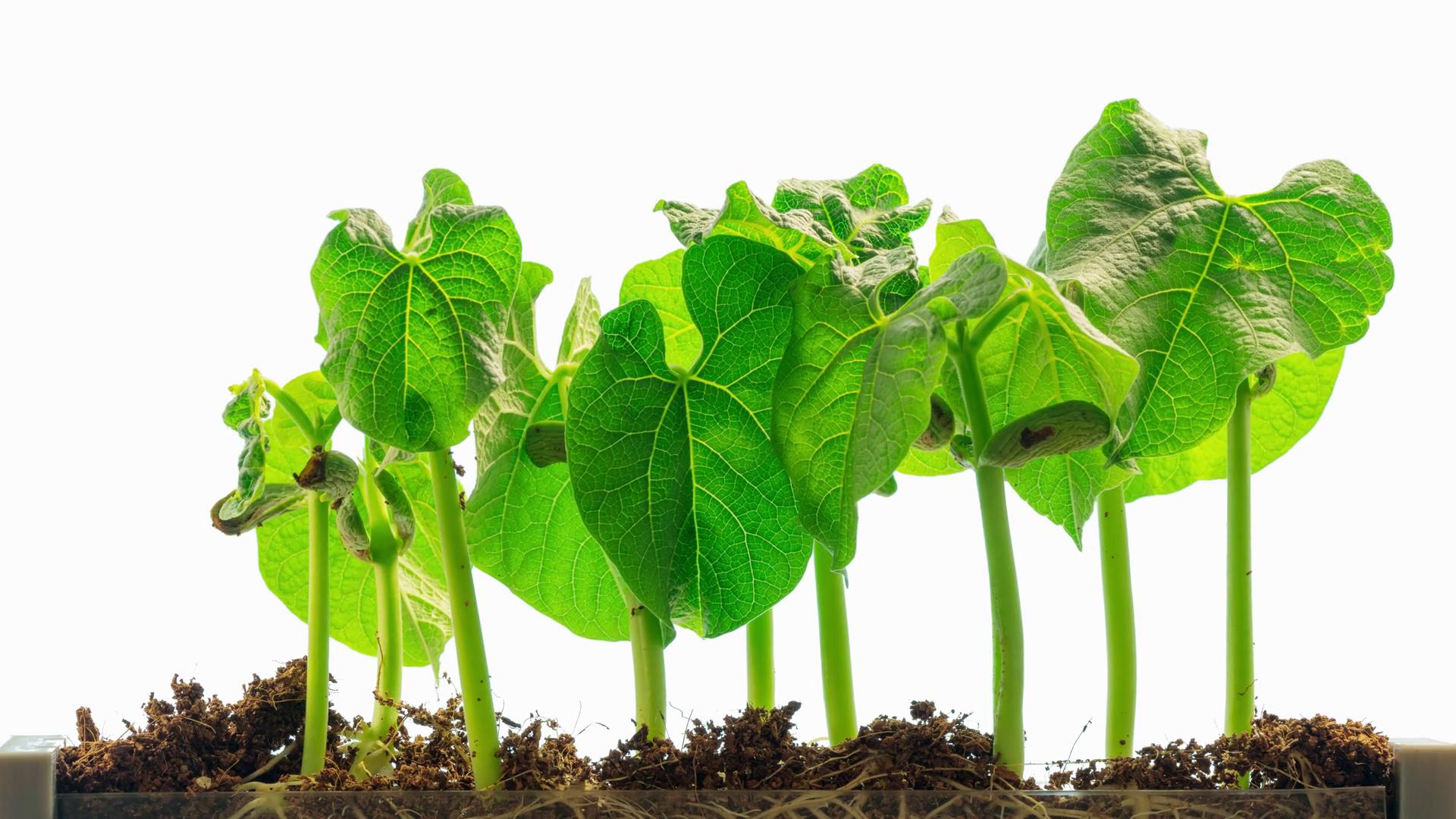 Bean Plant Png & Free Bean Plant.png Transparent Images #11271.