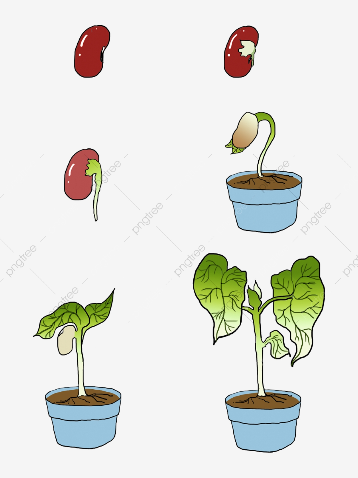 Hand Painted Plant Growth Process Red Bean Sprouting, Plant Growth.