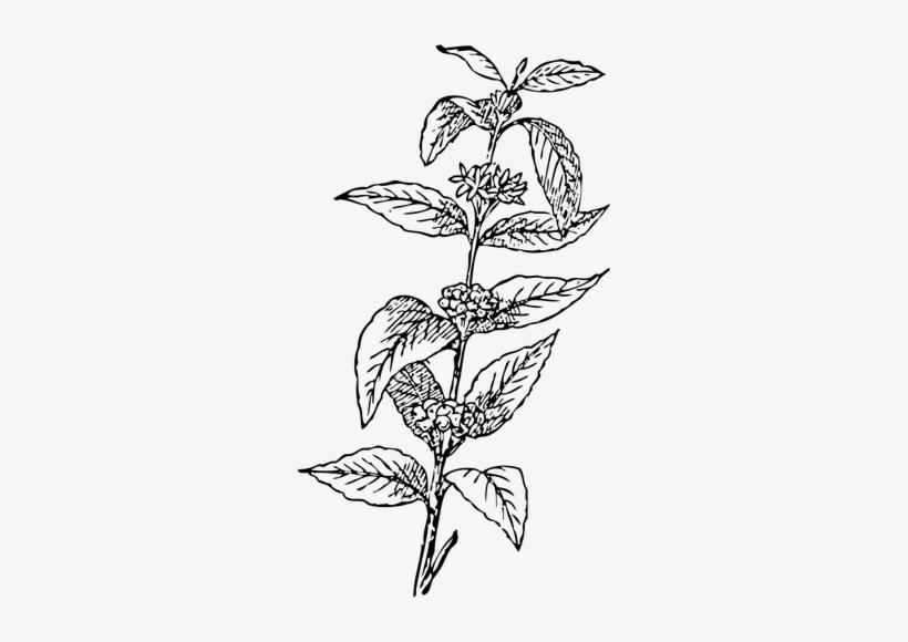 Coffee Bean Plant Vector Coffee Bean Clipart.