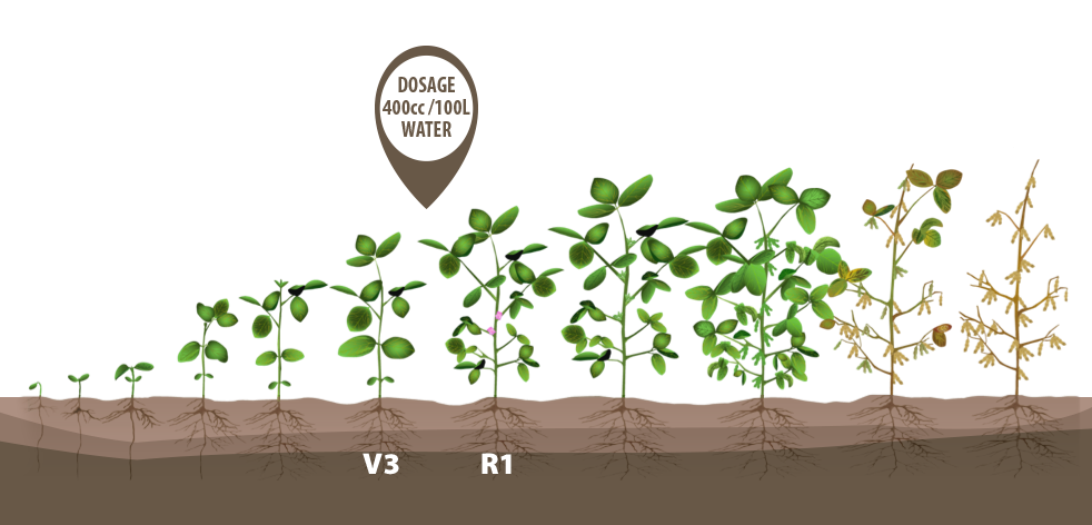 Download Plant Soybeans Crop Bean Growth Green Growing Clipart PNG.