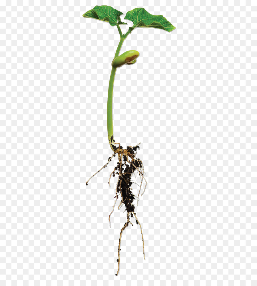 Tree Root png download.