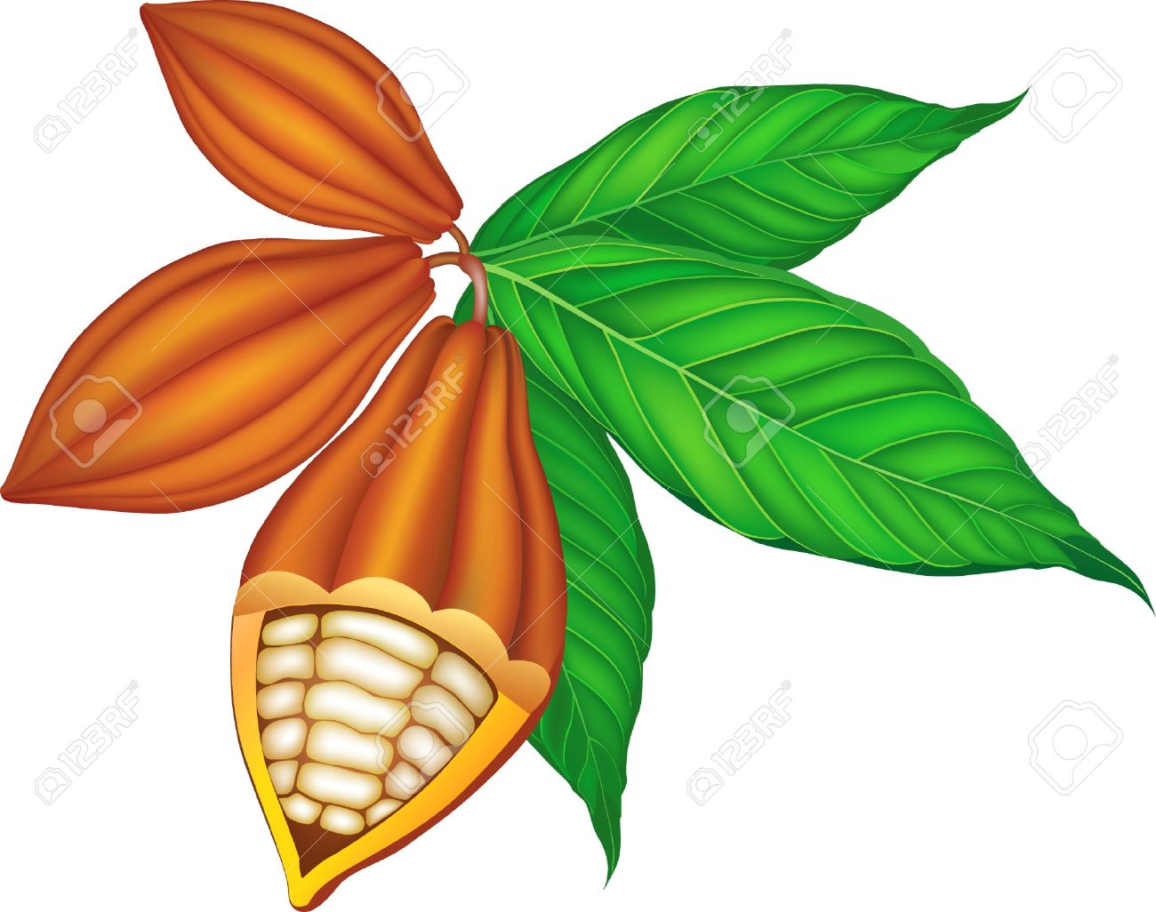 Cocoa Beans With Green Leaves. Royalty Free Cliparts, Vectors, And.
