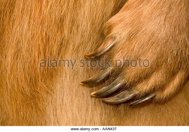 Bear Claw Stock Photos & Bear Claw Stock Images.