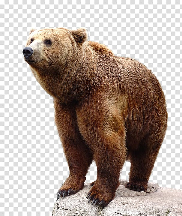 Brown bear, bear transparent background PNG clipart.