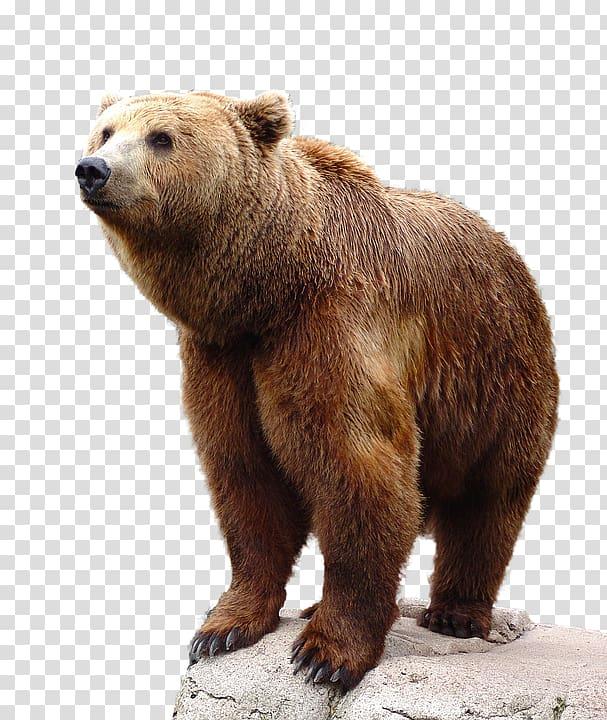 Brown bear, bear transparent background PNG clipart.