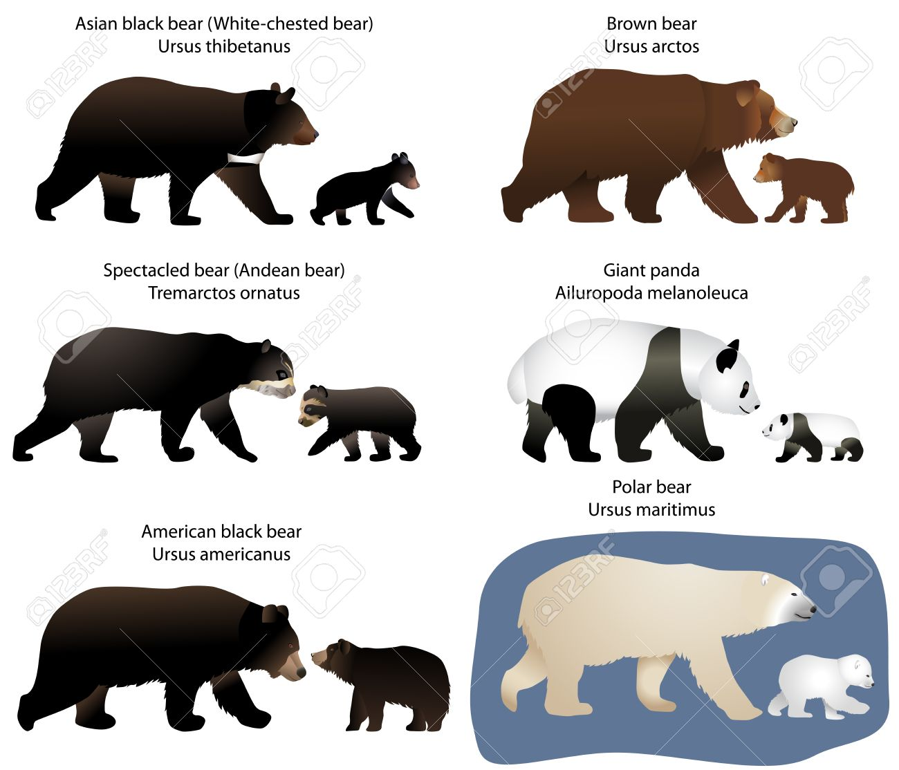 Collection of different species of bears and bear.