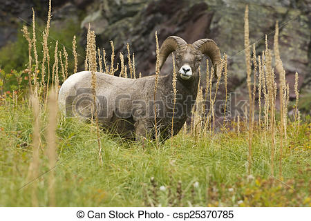 Pictures of Bighorn Sheep Grazing on Bear Grass in Many Glacier an.