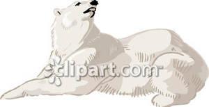 Polar Bear Lying Down.