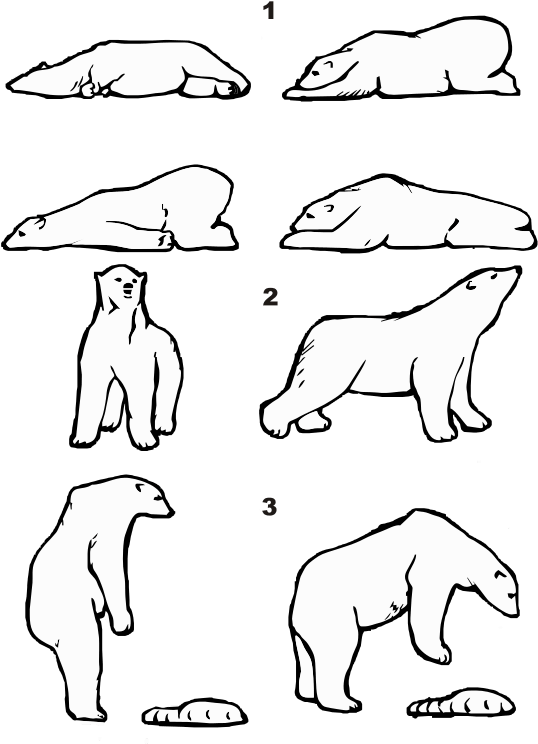 Picture From Wikimedia Ursus Maritimus Posture.
