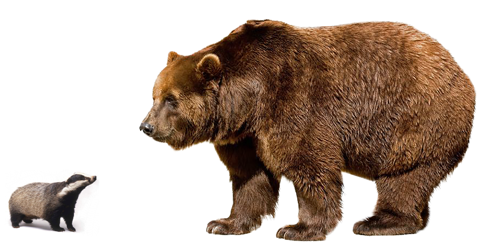 Brown Bear PNG Image Background.