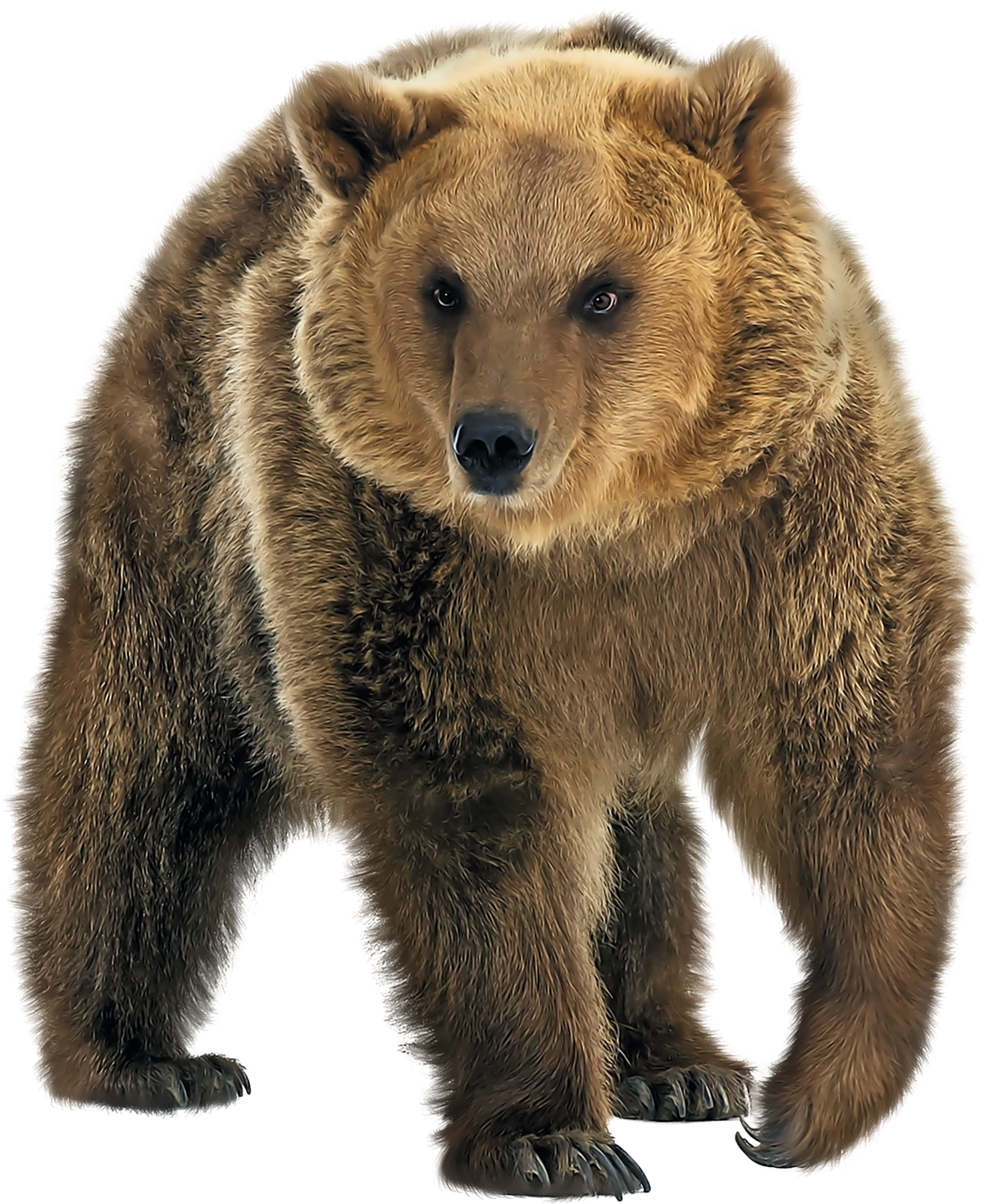 Brown Bear PNG Transparent Image.