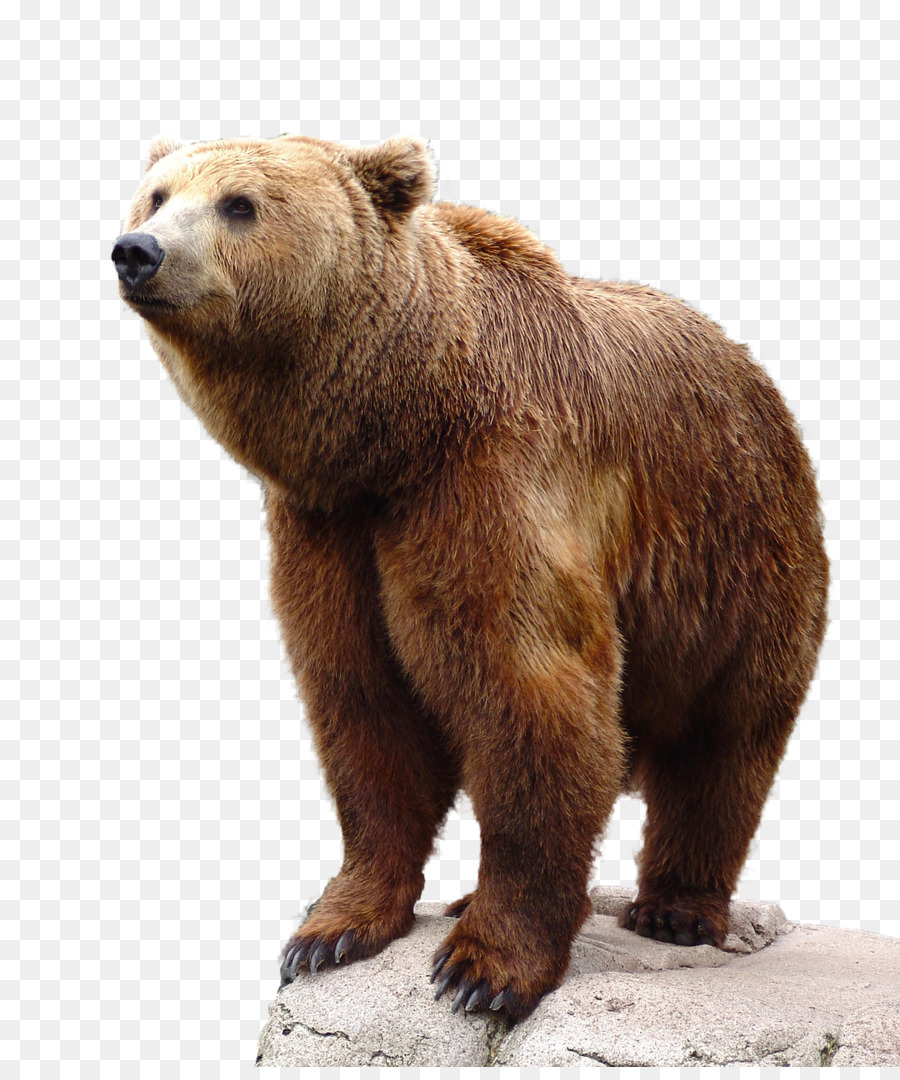 Brown Bear Png (+).